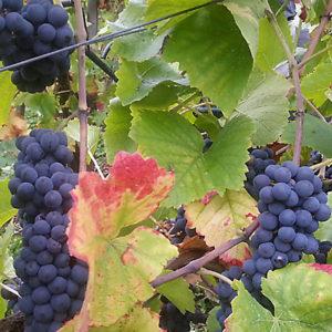 Rosé- und Rotweine